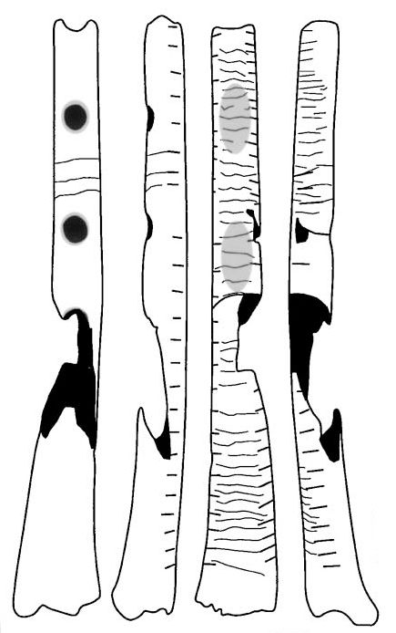 Tracing of Gravettian culture flute (B) from Isturitz